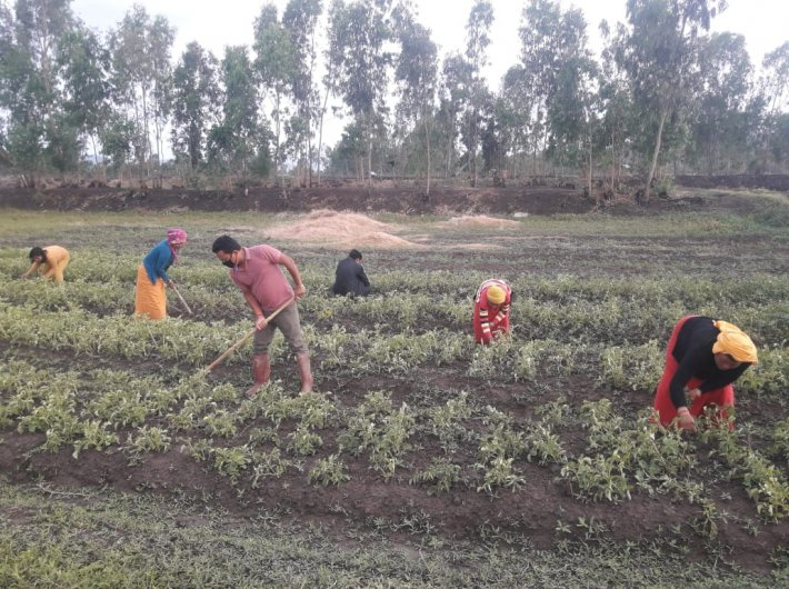 Farmers tending to the crop amid the lockdown (Photo: PIB)